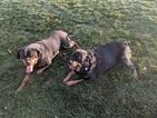 Rottweiler Puppy For Sale in LA VERKIN, UT, USA