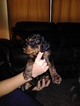 Bernese Mountain Poo Puppy For Sale in GODLEY, TX, USA
