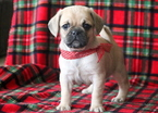 Puggle Puppy For Sale in MOUNT JOY, PA, USA