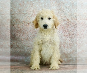 Goldendoodle-Poodle (Standard) Mix Puppy for Sale in WARSAW, Indiana USA