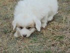 Great Pyrenees Puppy For Sale in NORTH PLATTE, Nebraska,