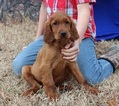 Irish Setter Puppy For Sale in HARRISON, AR, USA
