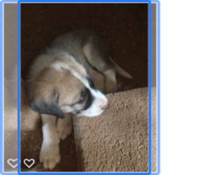 Anatolian Shepherd Puppy for sale in SCOTTSDALE, AZ, USA