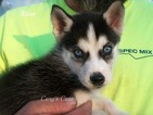 Siberian Husky Puppy For Sale in ELKLAND, MO, USA