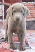 Labrador Retriever Puppy For Sale in WEST PLAINS, MO, USA
