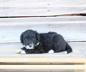 Collie-Poodle (Miniature) Mix Puppy for sale in LEWISTON, UT, USA