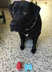 Black Lab Retriever to adopt  in Jacksonville FL