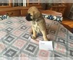 Puppy 5 Anatolian Shepherd