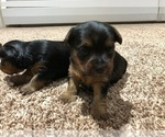 Small #3 Silkshire Terrier-Yorkshire Terrier Mix