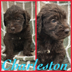 Labradoodle Puppy For Sale in SUMMERVILLE, SC,