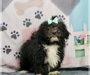 ShihPoo Puppy for Sale in WARSAW, Indiana USA