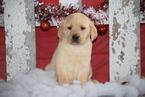 Golden Labrador Puppy For Sale in FREDERICKSBURG, OH, USA