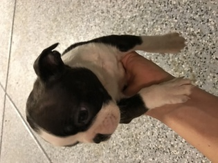 Boston Terrier Puppy For Sale in SAINT GEORGE, UT