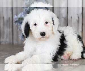 Sheepadoodle Dog for Adoption in MOUNT VERNON, Ohio USA