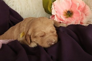 Goldendoodle Puppy for sale in GILLETT GROVE, IA, USA