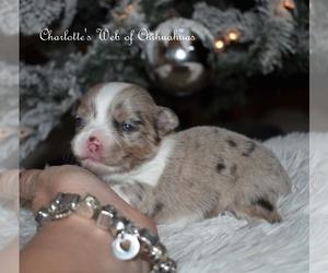 Chihuahua Dog for Adoption in HAMPTON, Virginia USA