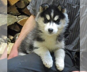 Siberian Husky Puppy for sale in CATAWISSA, PA, USA