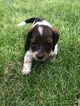 Dachshund Puppy For Sale in PERU, IL, USA
