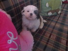 Shih Tzu Puppy For Sale in ASHEVILLE, NC, USA