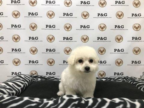 Maltipom puppy
