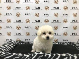 Maltipom Puppy For Sale in TEMPLE CITY, CA, USA
