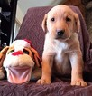 Labrador Retriever Puppy For Sale in HARRISON, AR,