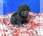 Puppy 2 Poodle (Miniature)