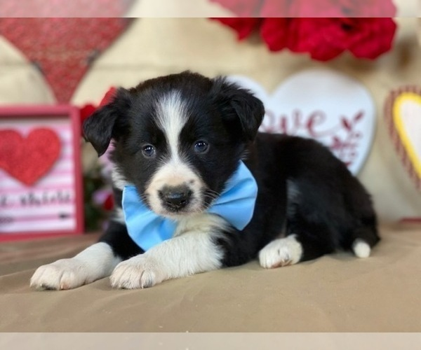 Medium Photo #2 Border Sheepdog Puppy For Sale in LANCASTER, PA, USA