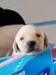 Labrador Retriever Puppy For Sale in LONG VALLEY, New Jersey,