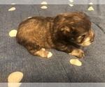 Puppy 1 Schnauzer (Miniature)