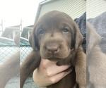 Small #7 Labrador Retriever
