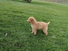 Poodle (Standard) Puppy For Sale in CLINTONVILLE, KY, USA