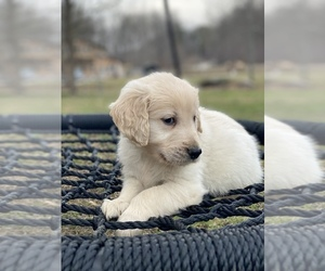 Golden Retriever Puppy for sale in MORGANTOWN, IN, USA