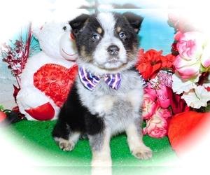 Texas Heeler Puppy for Sale in HAMMOND, Indiana USA