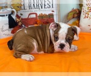 Bulldog Puppy for sale in POWHATAN, VA, USA