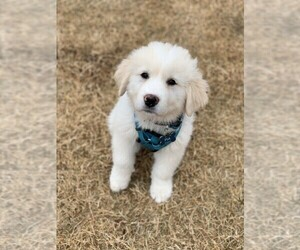 Great Pyrenees Puppy for sale in CAVE SPRINGS, AR, USA