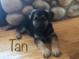 German Shepherd Dog Puppy For Sale in BRUNO, MN, USA
