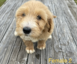 Goldendoodle-Poodle (Standard) Mix Puppy for Sale in CLANTON, Alabama USA