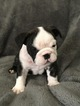 Bulldog Puppy For Sale in SWARTZ CREEK, MI