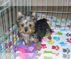 Silky Terrier Puppy for sale in ORO VALLEY, AZ, USA
