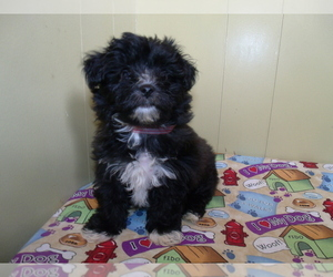 Yo-Chon Puppy for Sale in PATERSON, New Jersey USA