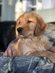 Golden Retriever Puppy For Sale near 46982, Silver Lake, IN, USA