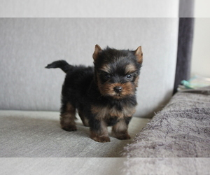 Yorkshire Terrier Puppy for sale in SEATTLE, WA, USA