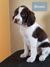 AKC Champion Bloodline Brittany Puppies Availabe