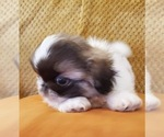 Small #2 Pekingese