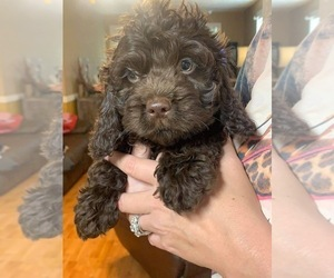 Cocker Spaniel-Poodle (Miniature) Mix Puppy for Sale in DUBARD, Mississippi USA