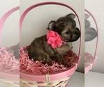 Puppy 5 Pomeranian-Yo-Chon Mix
