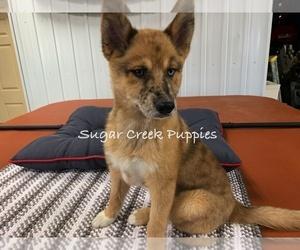 Puppyfinder com: Pomsky puppies puppies for sale near me in Iowa, USA