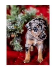 Australian Cattle Dog-Catahoula Leopard Dog Mix Puppy for sale in WELLMAN, IA, USA