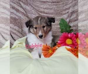 Shetland Sheepdog Puppy for Sale in COLBY, Wisconsin USA